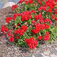 Почвопокровные розы  Купить