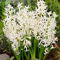 Гиацинты многоцветковые Купить