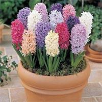 Гіацинти садові Купити