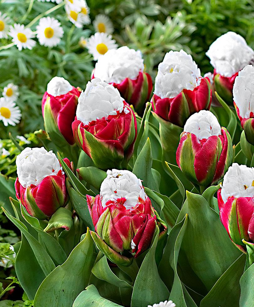 Купить голландские тюльпаны луковицы