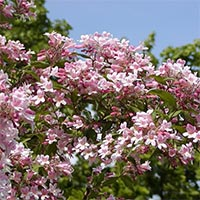 Листяні і квітучі кущі Купити