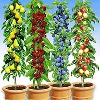 Саджанці колоновидних дерев Купити