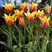 Лілеоподібні тюльпани Купити
