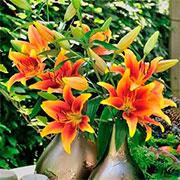ОА лилии гибриды Купить
