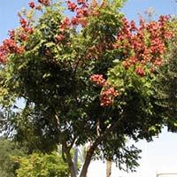 Мыльное дерево Купить
