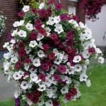 Насіння квітів Купити