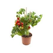 Семена детерминантных (низкорослых) томатов Купить