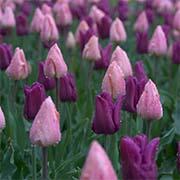 Одноцветные тюльпаны Купить