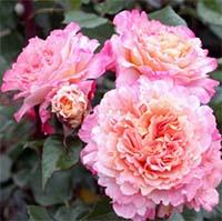 Парковые розы Купить