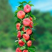Персик колоновидний Купити