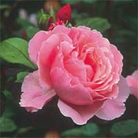 Розовые розы Купить