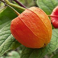 Плодовые овощи Купить