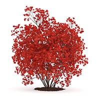 Насіння декоративних кущів та дерев Купити