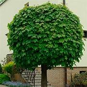 Шаровидные деревья Купить