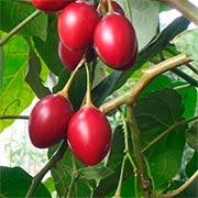 Тамарилло или томатное дерево Купить