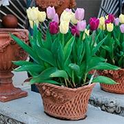 Тюльпаны в горшках Купить