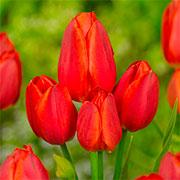 Сімейні / Багатоквіткові тюльпани Купити