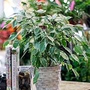 Вечнозеленые растения для дома Купить