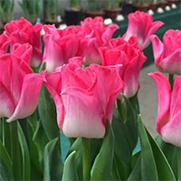 Волнистые тюльпаны Купить