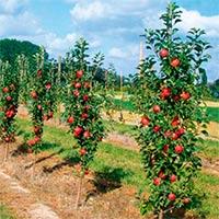 Яблуня колоновидна Купити