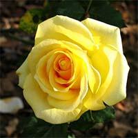 Желтые розы Купить