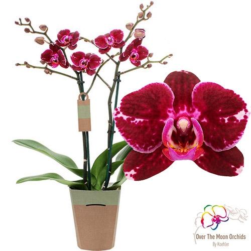 Купить Орхідеї без цвіту в горщиках, Фаленопсис Broken Heart мультіфлора (без цвіту)