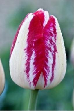 Тюльпан Rexona описание