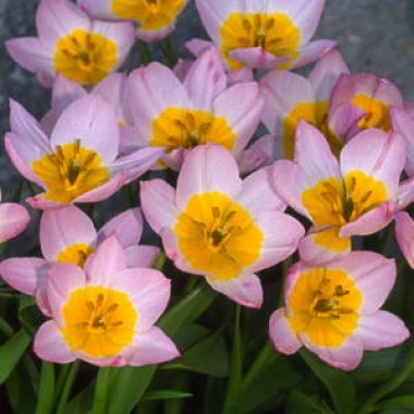 Тюльпан Bakeri Lilac Wonder описание