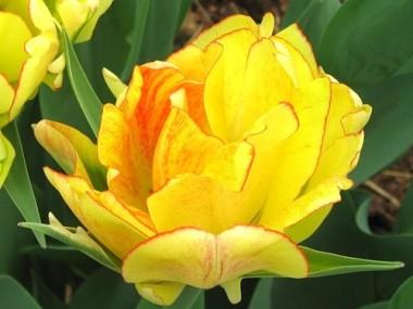Тюльпан Akebono  в киеве