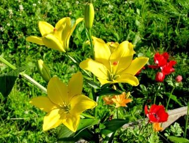 Лілія Yellow Cocotte фото