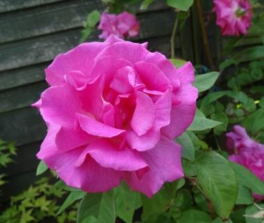 Троянда Zephrine Drouhin фото цена