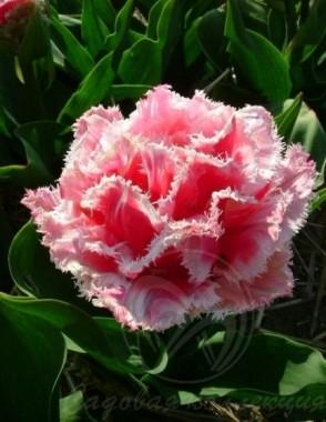 Тюльпан Queensland смотреть