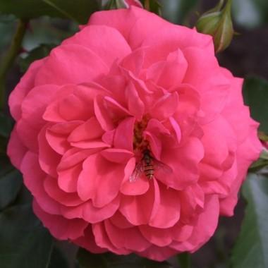 Троянда Rosarium Uetersen интернет-магазин