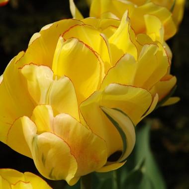 Тюльпан Akebono  почтой