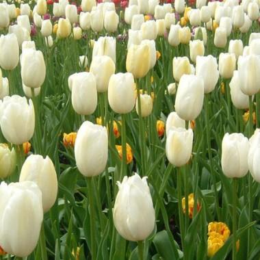 Тюльпан White Emperor (Purissima) купить онлайн