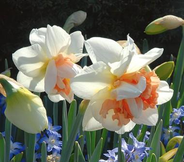 Нарцис My Story купить онлайн
