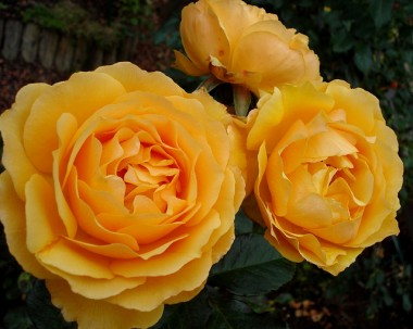 Троянда Amber Queen описание