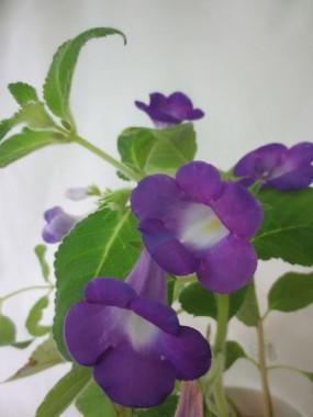 Ахіменес Mexicana фото