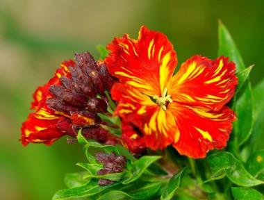Насіння дворічних квітів купить