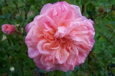 Троянда Pirouette смотреть