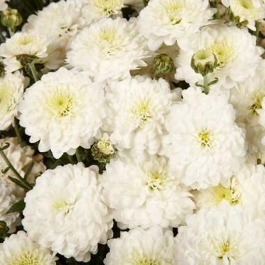 Хризантема White Swan купить онлайн