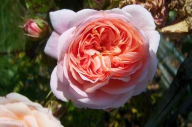 Троянда Pirouette фото