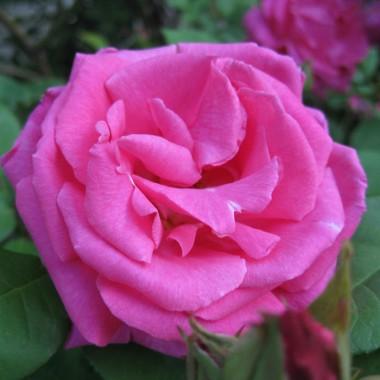 Троянда Zephrine Drouhin смотреть