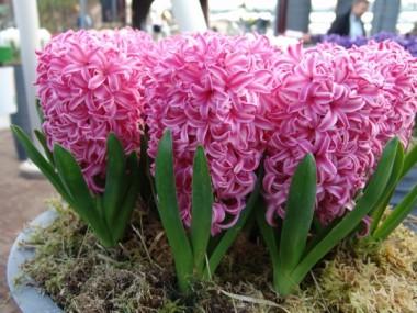 Гіацинт Pink Pearl фото