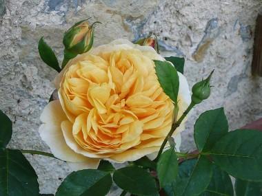 Троянда Teasing Georgia смотреть