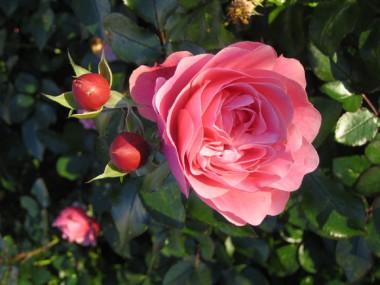 Троянда Leonardo da Vinci купить онлайн