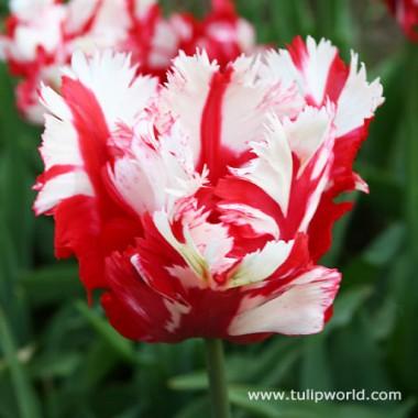 Тюльпан Estella Rijnveld фото цена