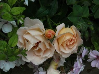 Троянда плетиста Amaretto описание