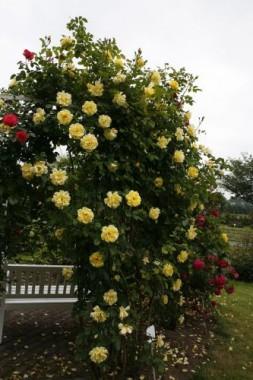 Троянда плетиста Golden Gate интернет-магазин
