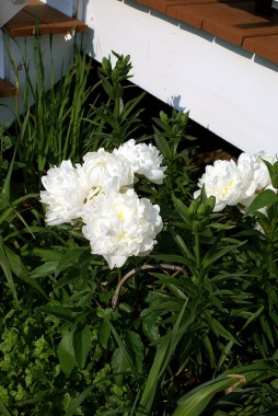 Півонія Gardenia  смотреть